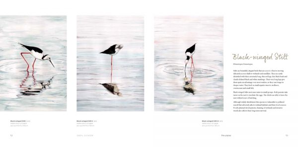 sample page showing three artworks of the black-winged stilt and information by daryl dickson